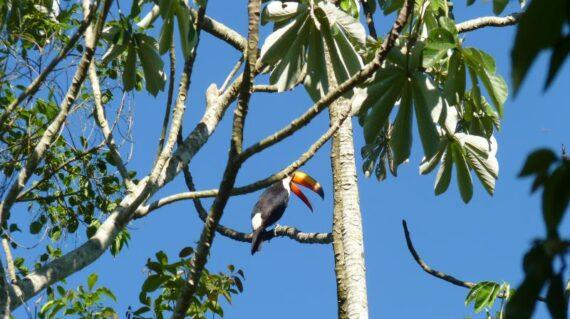 Tucan en Cataratas de Iguazu